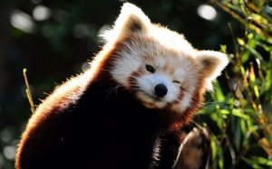 Red Panda HD Wallpaper